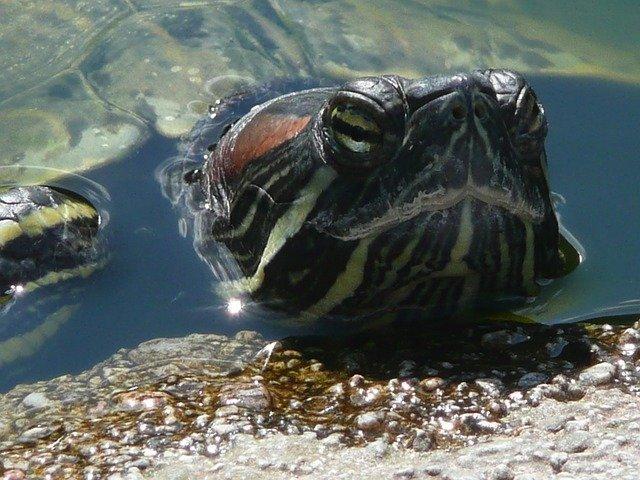 """La vida """"secreta"""" de las tortugas de agua"""