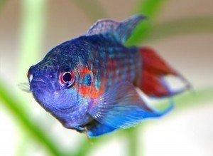 peces de agua fria madagascar mascotas